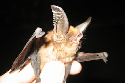 big-sucker-footed-bat-440.jpg