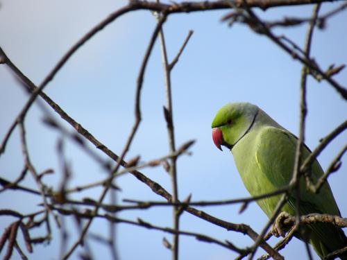 Ring-necked_parakeet.jpg
