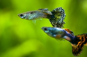 guppies-300x199.jpg