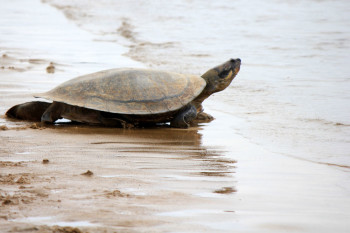 Amazon Villagers Bring Giant Turtle Species Back From The Brink
