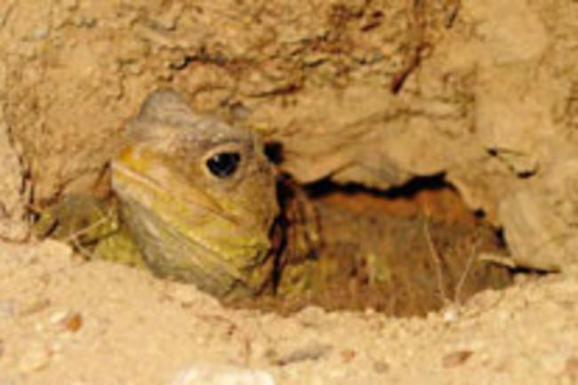 tuatara-reptile.jpg