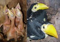 Toucan_chicks.jpg