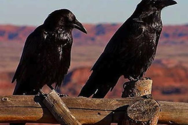 ravens1.jpg