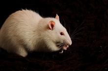 rat220.jpg