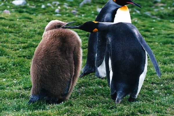 king-penguin-with-chick-e1329935524136.jpg