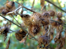 220px-Burrs.png