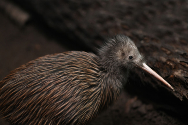 Kiwi Bird - Shutterstock