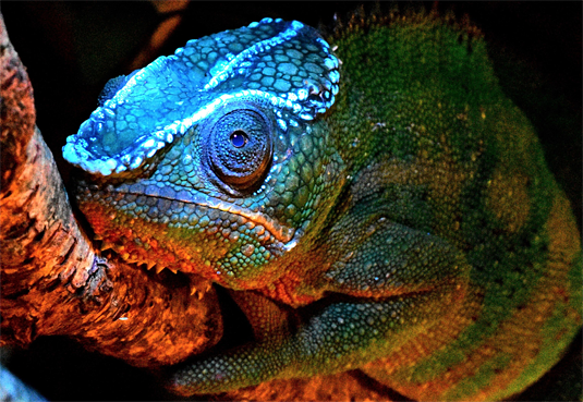 117glowing-chameleon.png