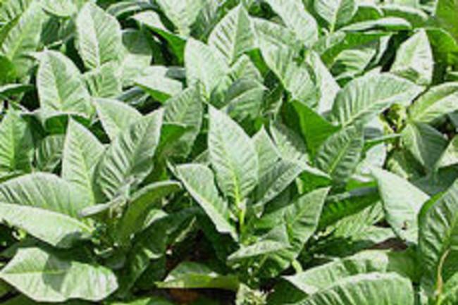 tobacco-plants.jpg