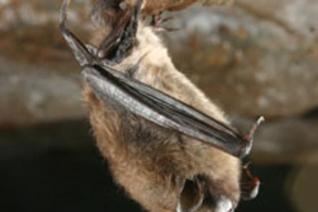 bat-white-fungus.jpg