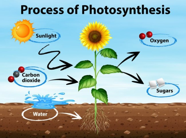Photosynthesis - Shutterstock