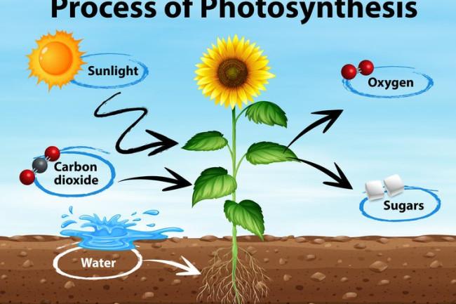 Photosynthesis - Shutterstock