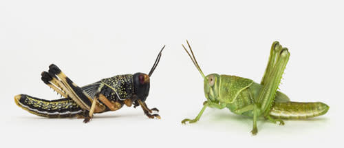 Locust_twoforms.jpg