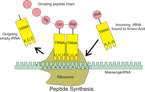 Peptide_syn.png