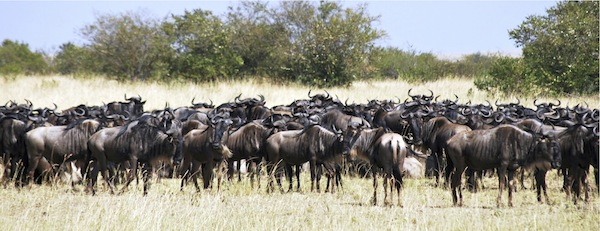Wildebeest.jpg