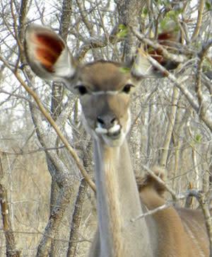 Kudu_portrait.jpg