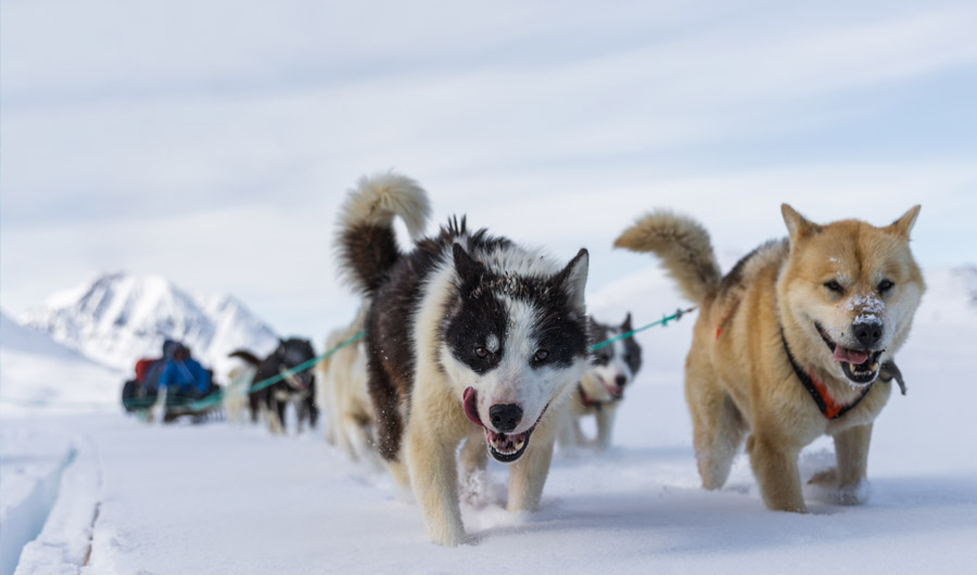 Ancient Inuit Brought Sled Dogs From Siberia That Helped Them Survive, Study Shows