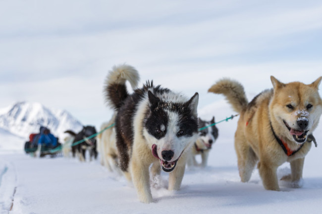 sled dog arctic