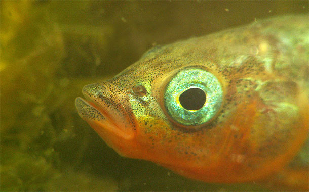 Stickleback.jpg