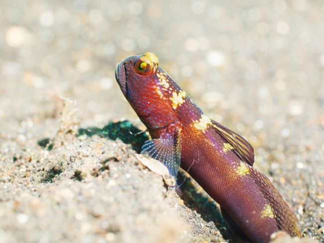 Goby Fish - Shutterstock