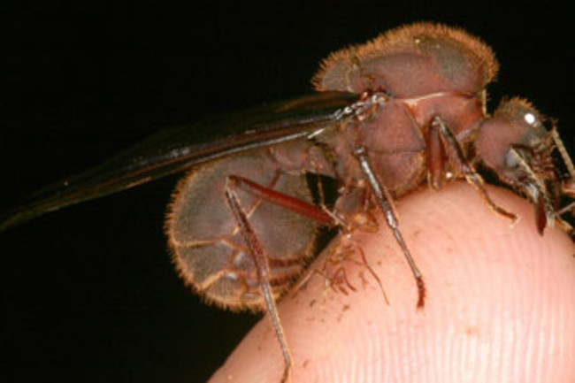 Queen_ant.jpg