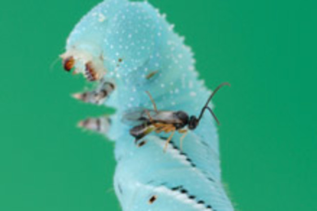 wasp-caterpillar.jpg