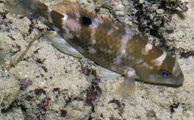 Black-spotted tuskfish - Flickr