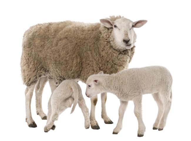 Sheep - Shutterstock