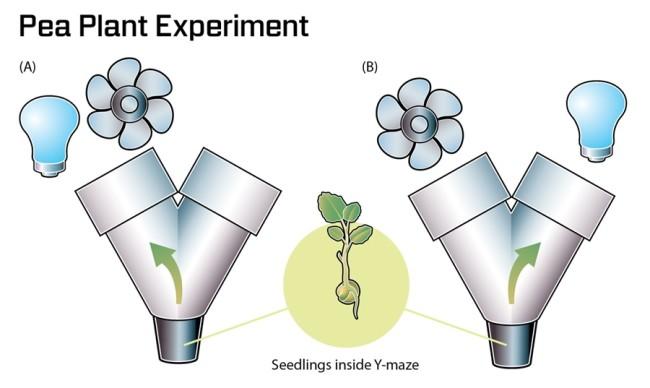 Gagliano's Pea Plant Experiment - Jay Smith