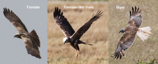 Marsh_harrier.jpg