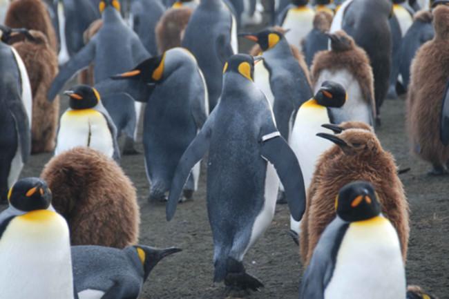 Banded_penguin.jpg