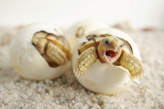 Baby Tortoises Hatching - Shutterstock