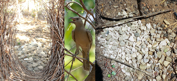 Great_bowerbird.jpg