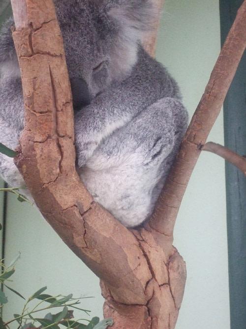 Koalasleeping.jpg