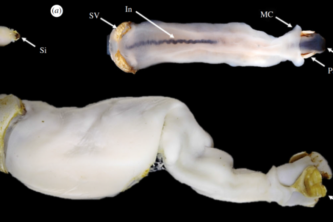 rock-eating shipworm - Proc. R. Soc. B.