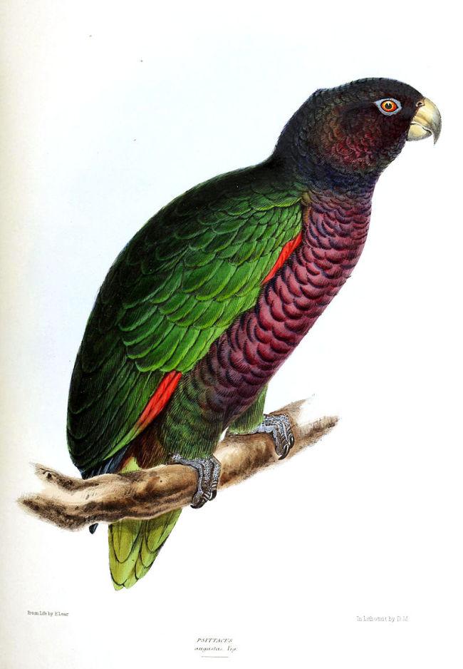 Imperial Amazon - Wikimedia