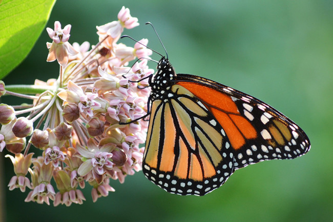 Monarch on Milkweed - Field Museum