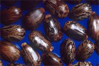 Ricin_castor_beans.jpg