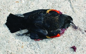 110107-blackbird-150a.photoblog600-300x190.jpg