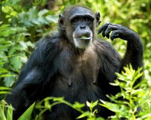 Chimpanzee-Eating-300x240.jpg
