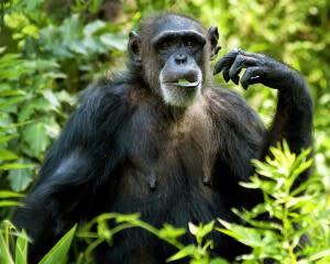 Chimpanzee Eating - Shutterstock