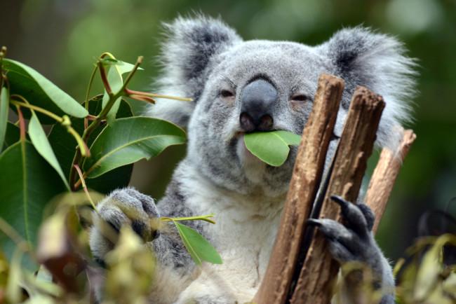 Koala eating eucalyptus
