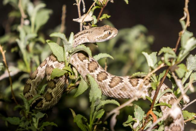 snake-seed-disperser-mojave-rattlesnake.jpg