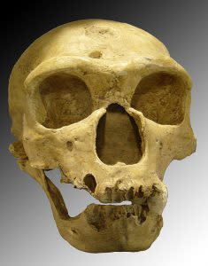 Neanderthal skull - Wikimedia Commons