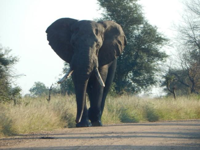 African Elephant, Kruger National Park - Gemma Tarlach