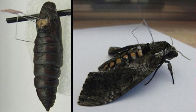 cyborg-moth.jpg