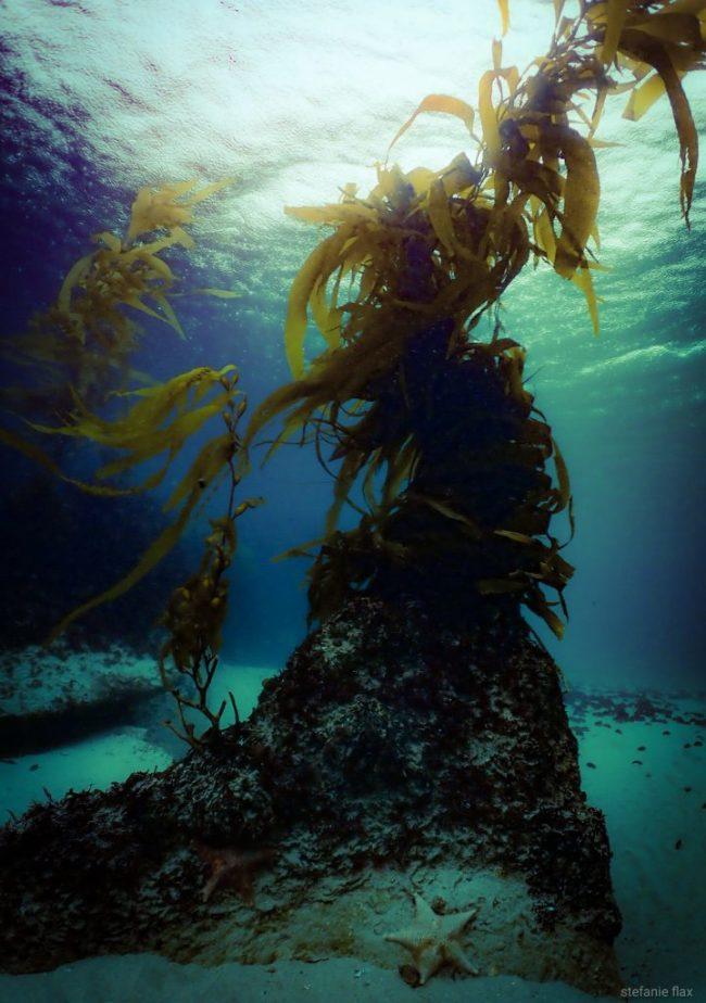 Kelp, California coast - Stefanie Flax/Ocean Sanctuaries