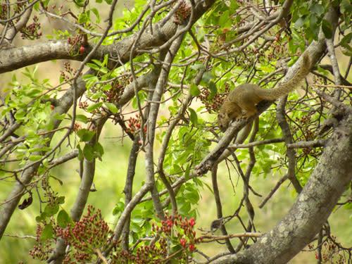 Tree_squirrel.jpg