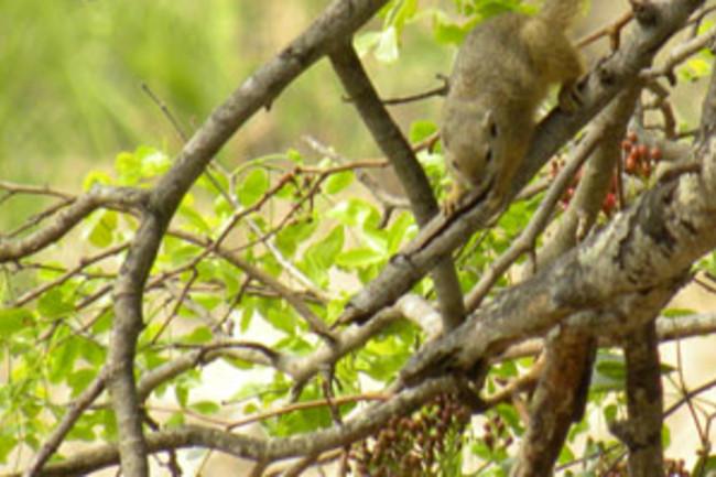 Tree_squirrel_jump.jpg