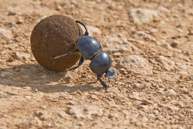 Dung-beetle.jpg